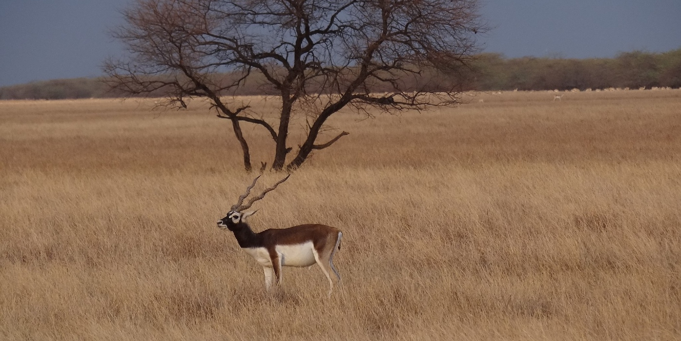 RT Local: Hear from a tourist guide at Blackbuck National Park in Velavadar, Gujarat